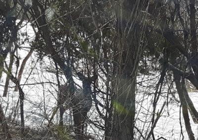 deer, winter